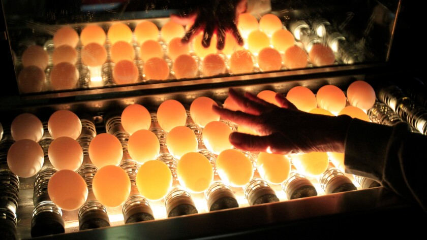 Eggs are inspected using lights at Hilliker's Ranch Fresh Eggs in Lakeview, Calif. in 2014.