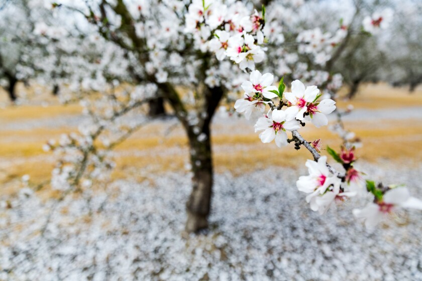 An almond tree blooms in Modesto in February 2015.