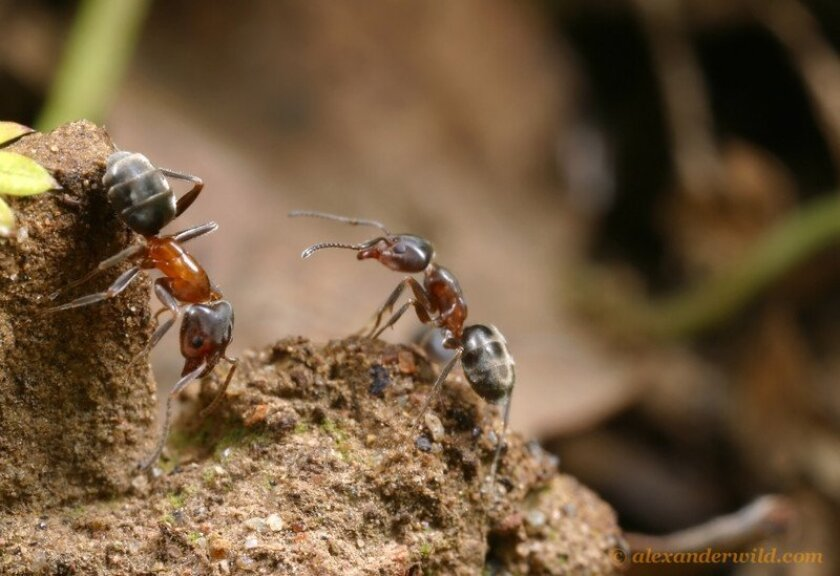 Velvety tree ants / photo by Alex Wild * myrmecos.net