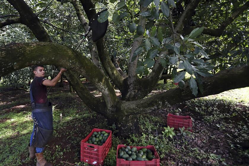 A farmhand harvests avocados at an orchard near Ziracuaretiro, Mexico.