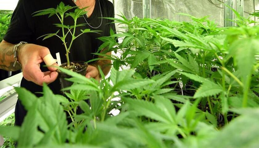 Un empleado cuida una planta de cannabis. EFE/Archivo
