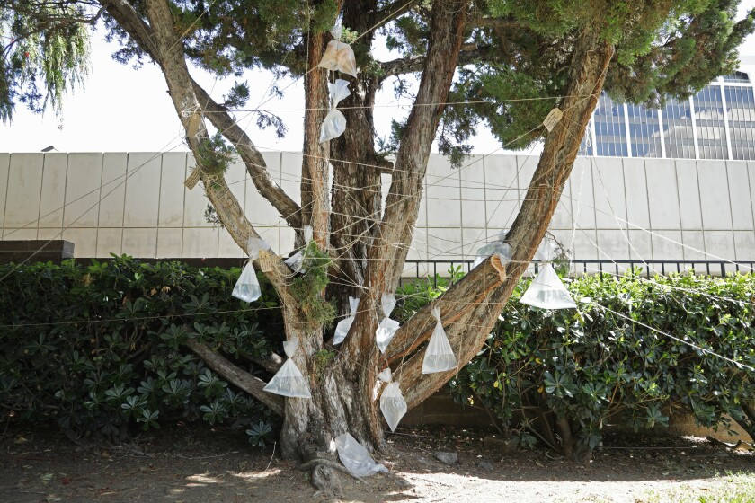 """Labkhand Olfatmanesh's """"Cycle (Baby Maybe)"""" ties water-filled bags, one holding a baby doll, to a Sherman Oaks tree."""
