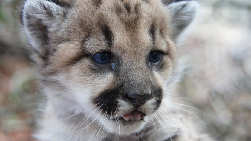 This mountain lion cub, born in the Santa Monica Mountains, was likely a result of inbreeding, scientists say. Activists hope a wildlife passage over the 101 will add territory for finding mates.
