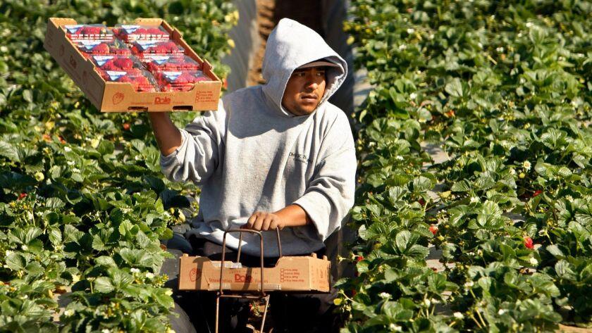 SANTA MARIA, CA-APRIL 02, 2013: Domingo Suarez carries a box full of strawberries picked for Dole Fo