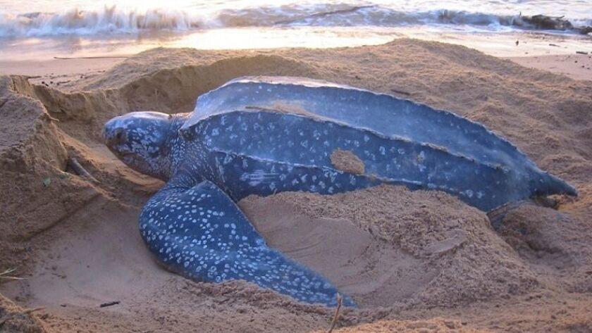 "TURTLE--Leatherback Sea Turtle nesting.must have the photo credit: ""Daniel Evans/Caribbean Conservat"