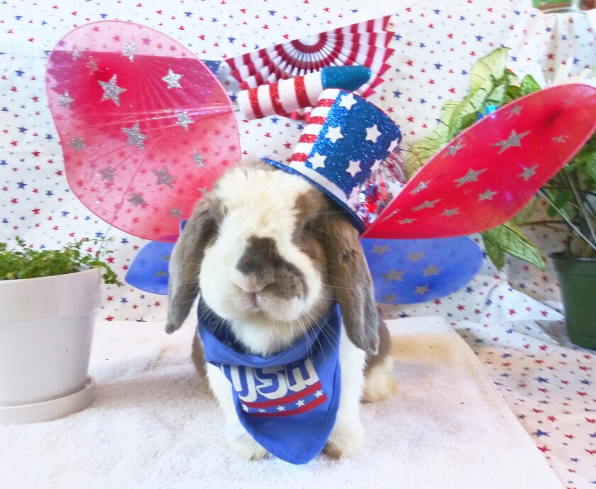 Waffles, a bunny, wearing patriotically-themed butterfly wings, top hat and scarf.