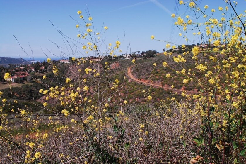 The Ridgeline Trail in the Rancho La Costa Preserve is seen here through yellow wallflowers; the ocean is on the left