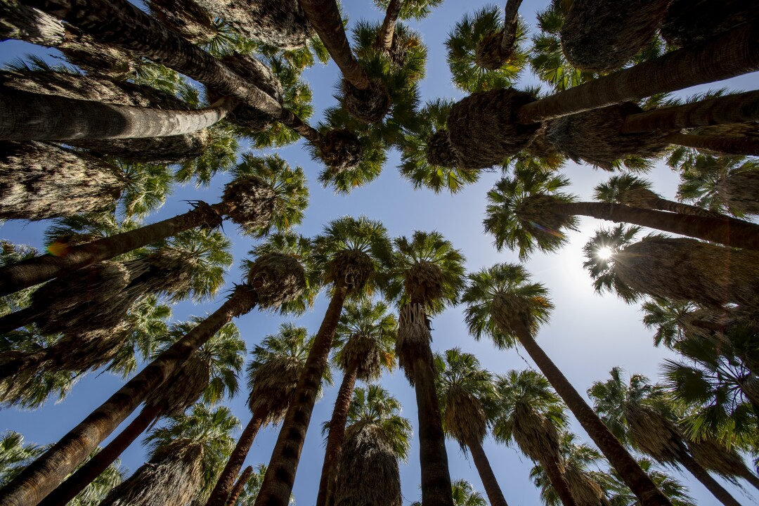 The tops of fan palm trees are seen from the ground.