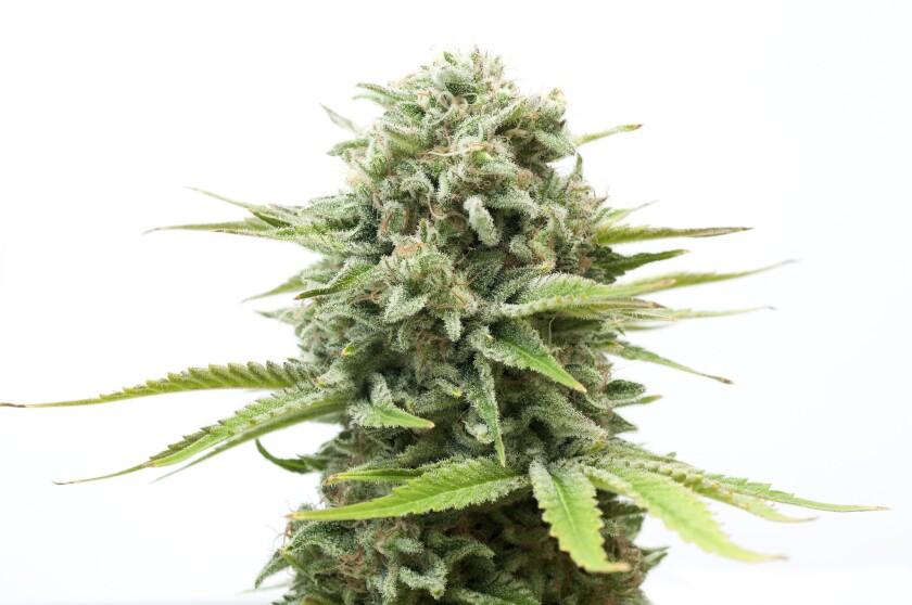Bush of cannabis