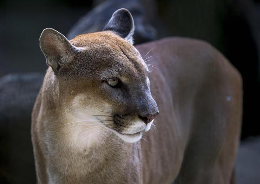 Un ejemplar de puma (Puma concolor) fue registrado dentro del Área de Protección de Flora y Fauna (APFF) Sierra de Álvarez, en el estado mexicano de San Luis Potosí, informó hoy la Comisión Nacional de Áreas Naturales Protegidas (Conanp). EFE/ARCHIVO