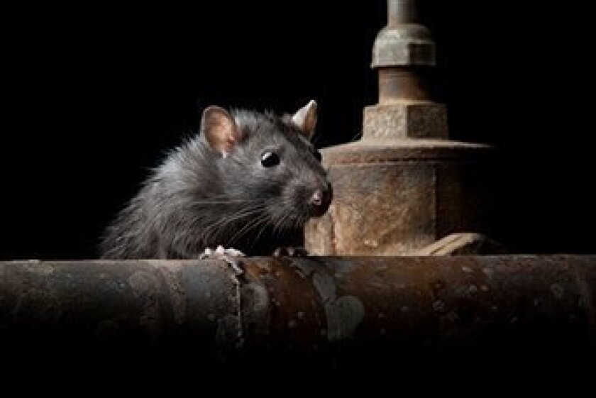Pest control companies say California is experiencing a rat infestation