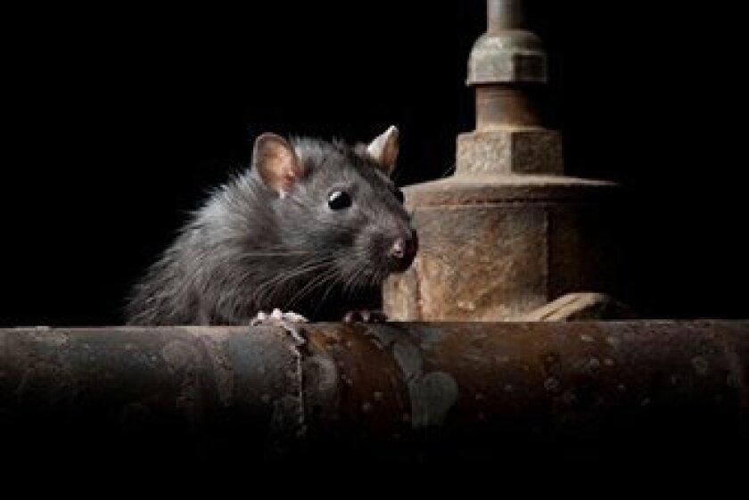 Compañías de control de plagas dicen que California está experimentando una infestación de ratas