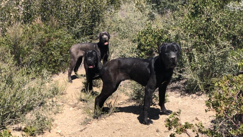 Three Cane Corsos were saved Monday after living in Angeles National Forest for weeks.