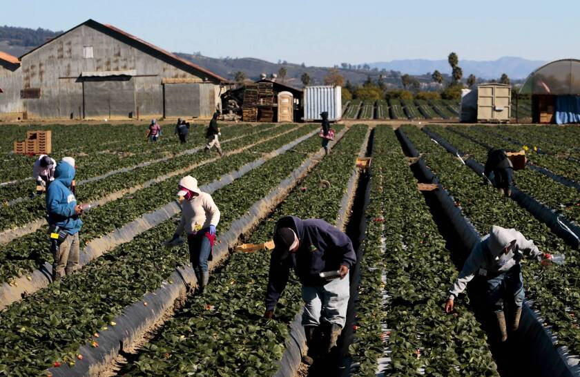 According to data from the U.S. Department of Agriculture, roughly half of all hired crop farm workers are in the country illegally. Above, workers pick strawberries in a Ventura field last month.