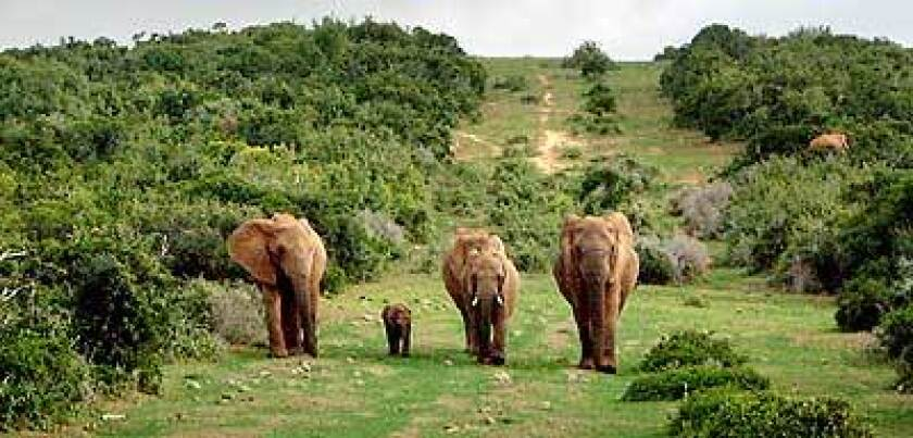 The Addo Elephant National Park herd has never been culled, and the animals are not suspicious of humans.