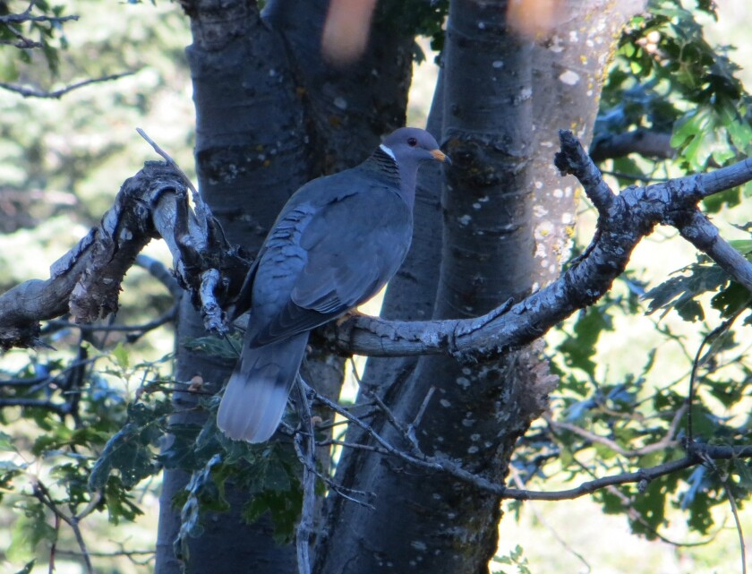 The Pacific Coast band-tailed pigeon, California's only native pigeon, is threatened by a parasite.