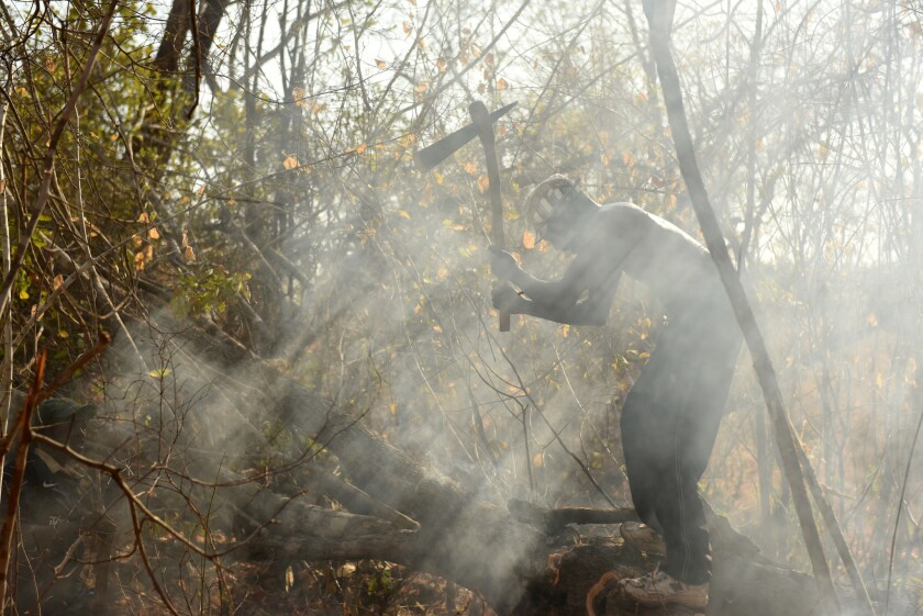 Yao honey-hunter Orlando Yassene chops open a bees' nest in a felled tree in the Niassa National Reserve, Mozambique.