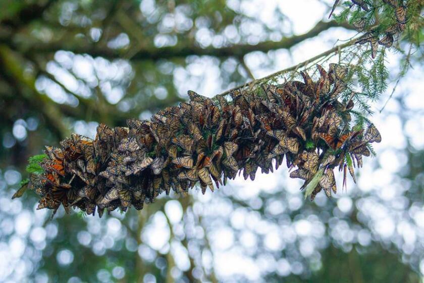 Fotografía cedida por el Fondo Mundial para la Naturaleza y tomada el pasado domingo, 25 de noviembre de 2018, que muestra una rama con mariposas monarca en el bosque del estado de Michoacán (México). EFE/Enrique Corte/Fondo Mundial para la Naturaleza/SOLO USO EDITORIAL