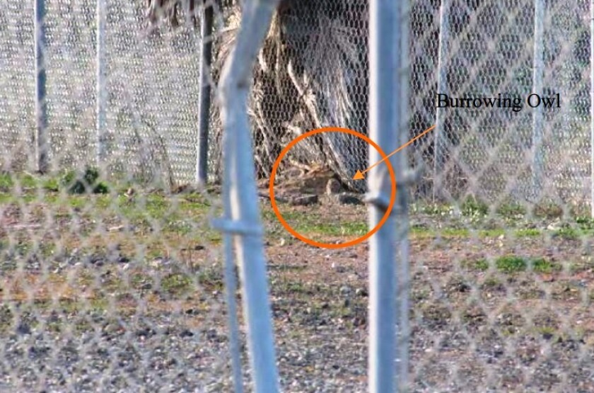 fence burrowing owl.jpg