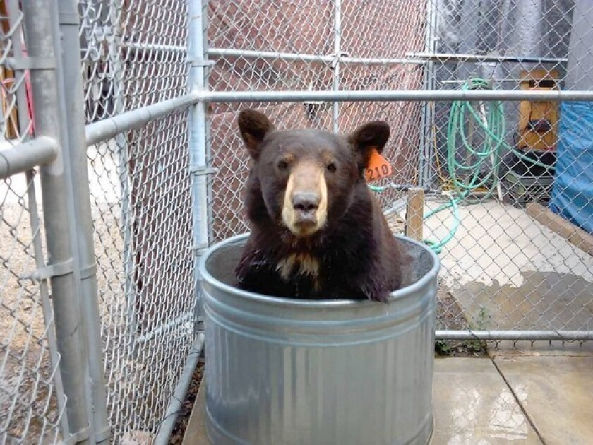 The bear known as Meatball and Glen Bearian cools off in a tub of water at his temporary home at the Lions, Tigers & Bears sanctuary in Alpine, Calif.