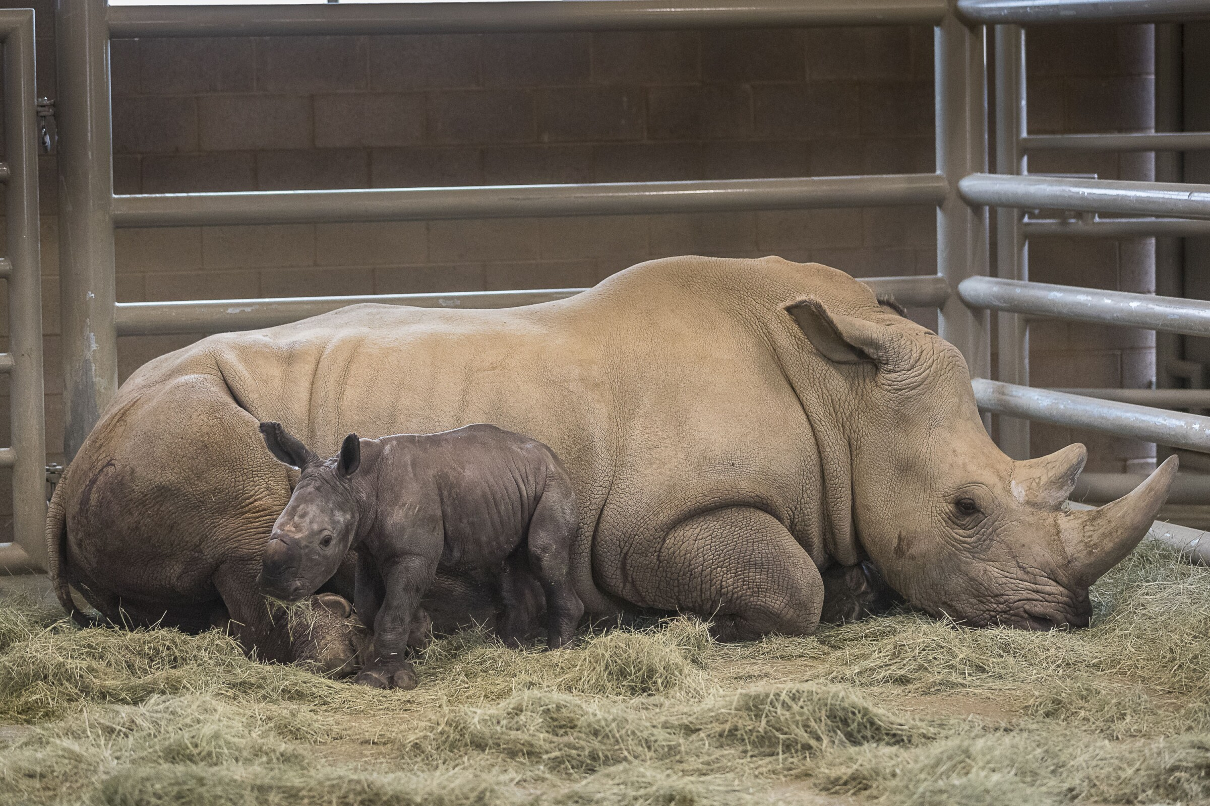 Southern White Rhino Calf Conceived Through Artificial Insemination Bonding Well with Its Mother at San Diego Zoo Safari Park