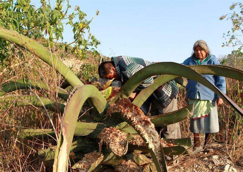 MEX13. IXMIQUILPAN (MÉXICO), 04/08/2018.- Fotografía fechada este 1 de agosto de 2018, que muestra a Luis Cardon (i), y a su madre Tomasa Cathi Bondhi (d), mientras separan el aguamiel de la planta de maguey, en Ixmiquilpan, Hidalgo (México). El blanco y viscoso pulque, una bebida ancestral mexicana con más de 2.500 años de antigüedad, ha preservado la tradición de su elaboración a través de los siglos y acumulado historias curiosas como la de la muñeca llena de heces o la imitación del fermentado que se hizo en China. EFE/Mario Guzmán