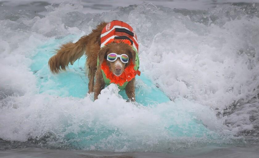 IB Surf Dog