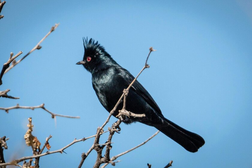 The male phainopepla is a silky jet black in color and is most commonly found in desert areas.