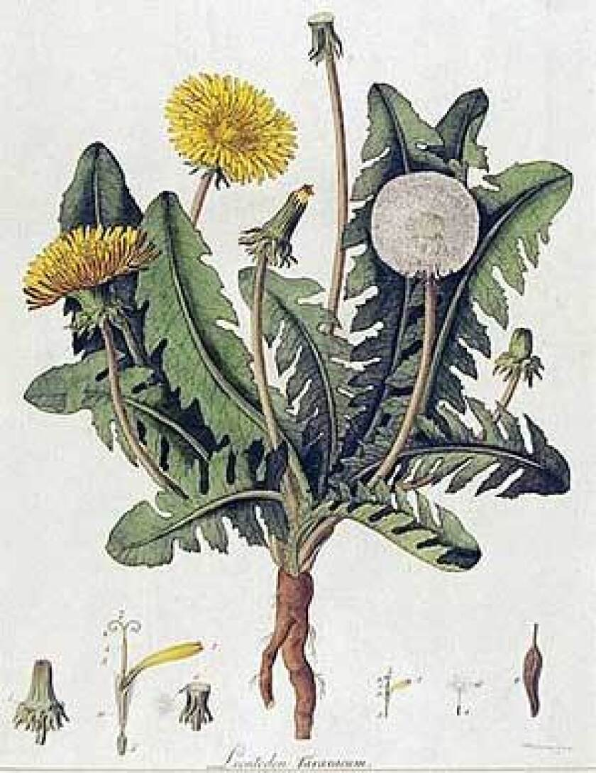 """The hand-colored engraving """"Dandelion, Taraxacum Officinale"""" is a plate from """"Flora Londinensis,"""" a book dating to the 1770s. Plants that are lovely in one place may be considered weeds elsewhere."""