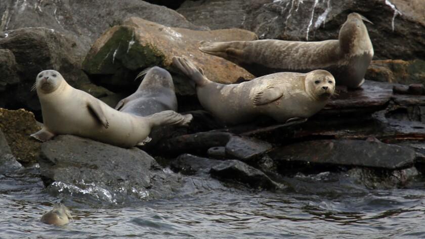 Harbor seals on rocks on an island off Staten Island in New York.