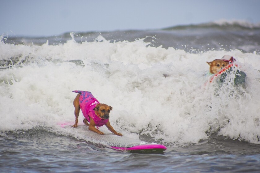 Helen Woodward Animal Center's annual  dog surfing contest