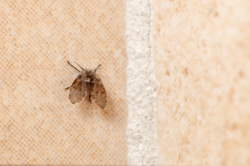 Harmless drain flies, or moth flies, are often found in bathrooms because their larvae inhabit pipes and drains where they feed on the muck and organic matter that build up.