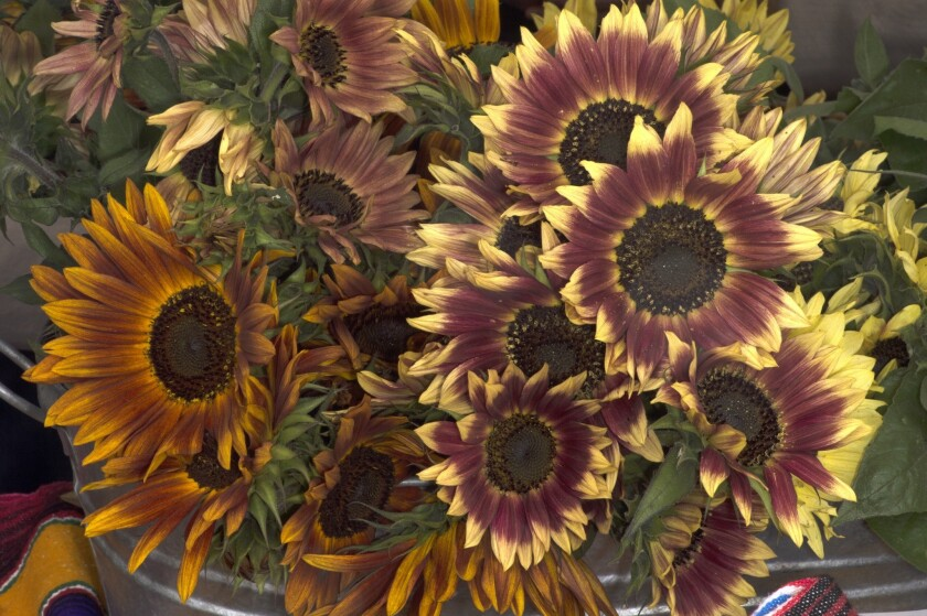 Sunflowers grown by Windrose Farm in Paso Robles, at the Hollywood farmers market.