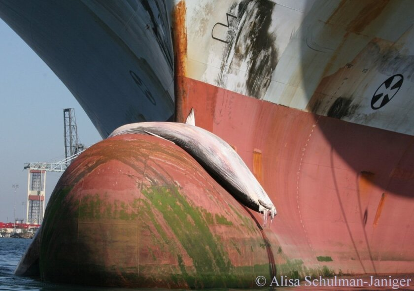 A fin whale was caught on the bow of a ship in Long Beach Harbor in October 2008, part of what marine ecologists said is an increasing problem with whale-vessel collisions in Southern California. The carcass of a different fin whale that had been hit by a ship washed ashore in Point Loma late last