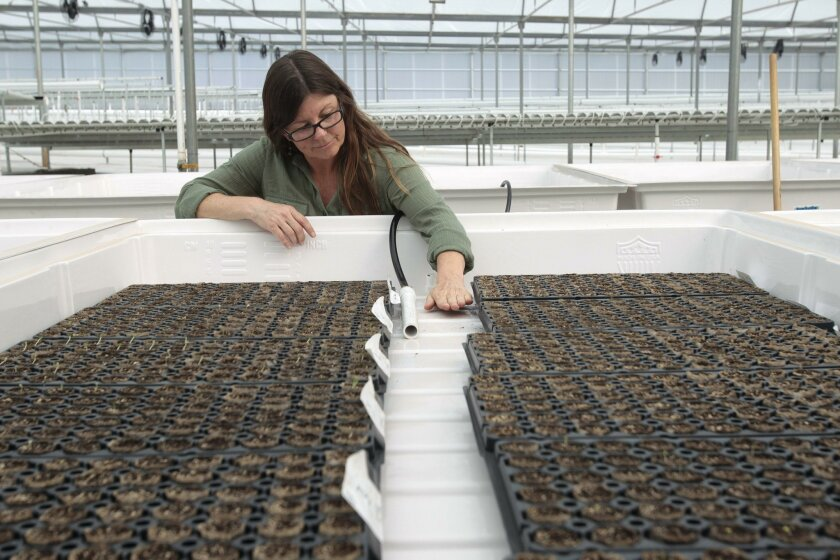 Distribution manager Jennifer Gerson shows the crop-watering technique at Solutions Farms in Vista.