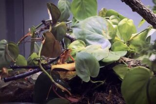 Scenes of the Panamanian Golden Frog