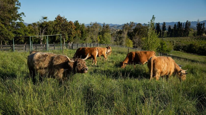 MOORPARK, CA-APRIL 18, 2019: A Scottish Highlander cow, left, grazes with other animals at Apricot