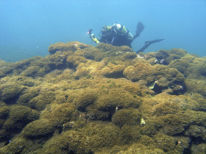 Seaweed covers a dead coral reef