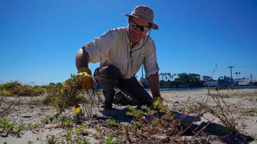 Robert Slavey was among volunteers removing vegetation March 17 on Fiesta Island to improve the chances of survival for California least tern chicks.