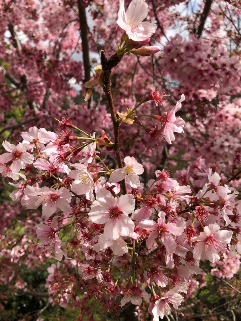 Cherry trees at the Huntington Gardens