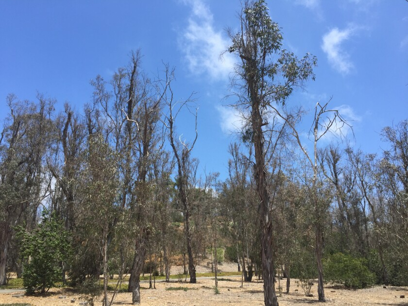 Eucalyptus trees after complete defoliation from the lerps.