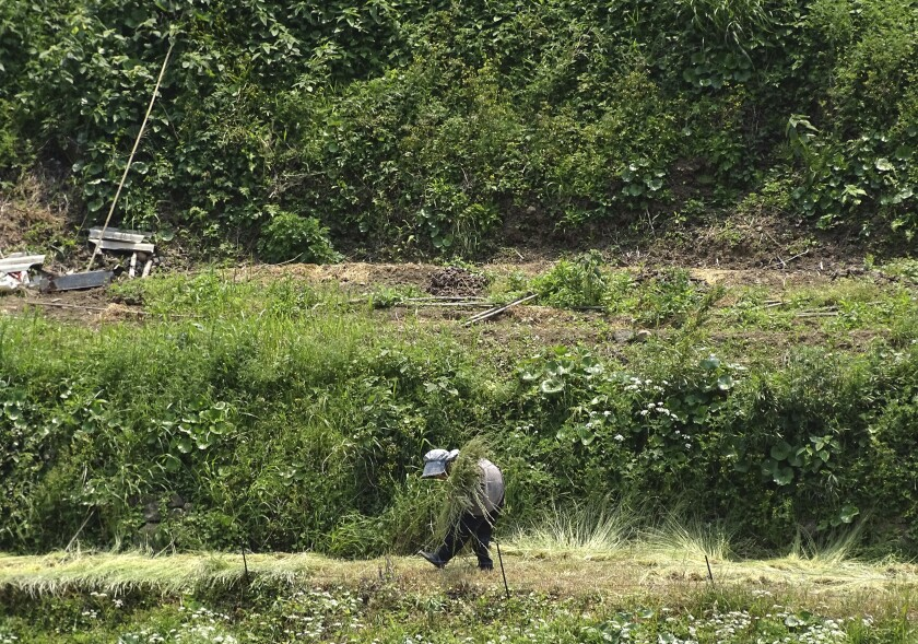 FILE - In this May 3, 2017, file photo, a farmer gathers grass for livestock in Hirado, Nagasaki Prefecture, southwestern Japan. Among the challenges awaiting newly appointed Japanese Prime Minister Yoshihide Suga is the urgent challenge of how to keep the world's third-largest economy growing as its population ages and shrinks. (AP Photo/Eugene Hoshiko, File)
