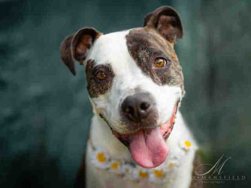 Lacey, a 6-year-old white brindle American Staffordshire mix, is among the pets for adoption at the San Diego County Department of Animal Services' North Shelter.