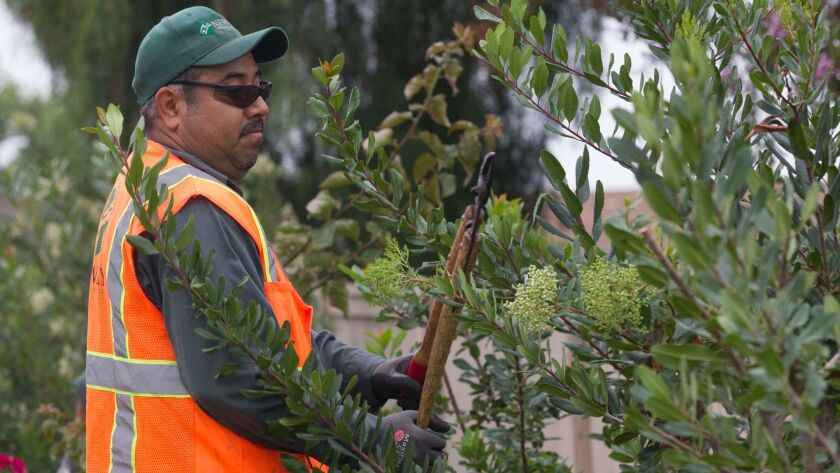 Jose Torres of New Way Landscaping cuts Toyon and bouganvilla bushes at one of the companies accounts in Tierrasanta. While he makes slightly above minimum wage, he see's the increase in the minimum as a way for all wages to be pushed up eventually.