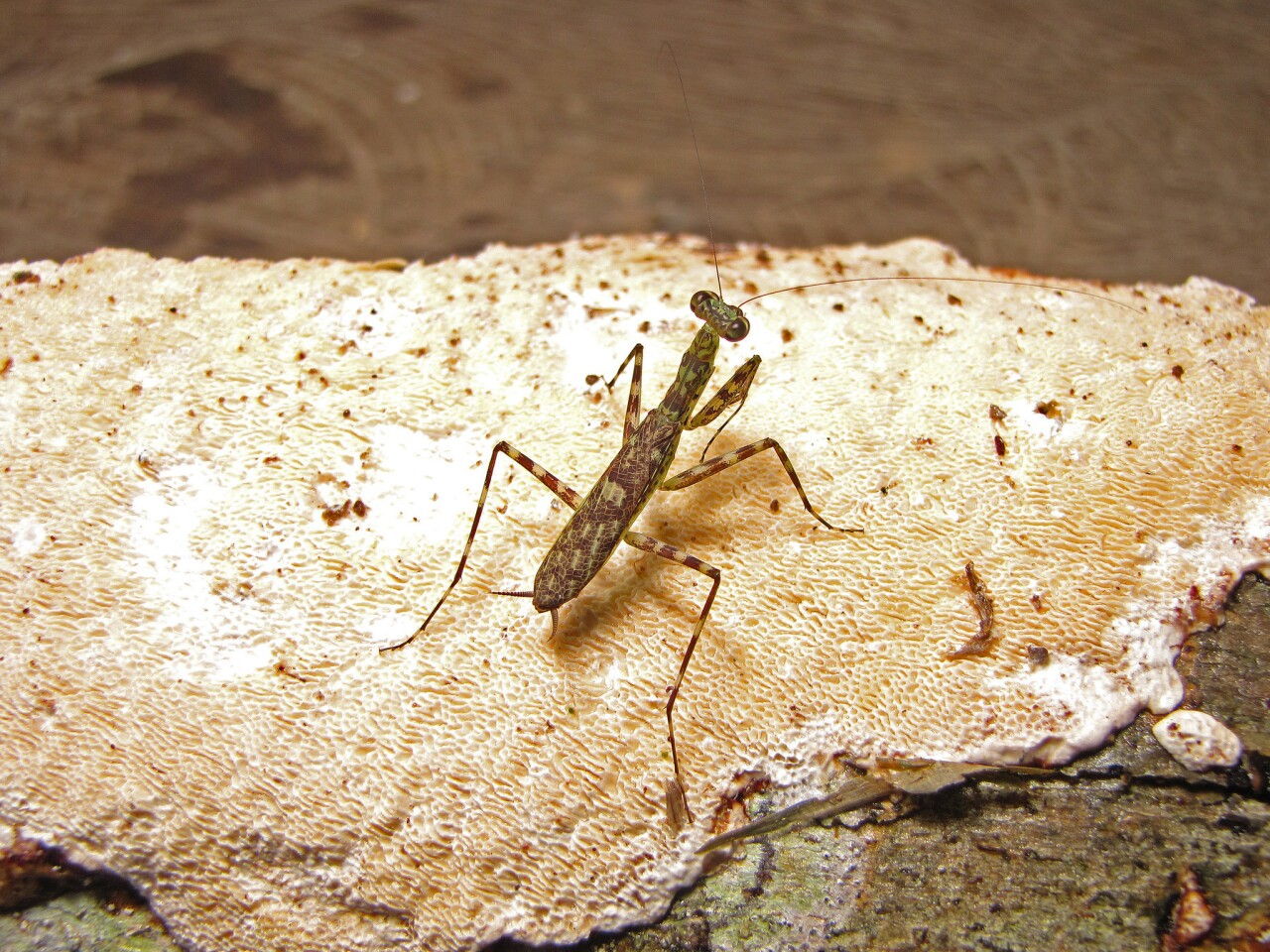 Liturgusa algorei, a newly discovered species of praying mantis, is named for former United States Vice President Al Gore in honor of his environmental advocacy. This male was caught in northern Peru in a rain forest by the Amazon River.