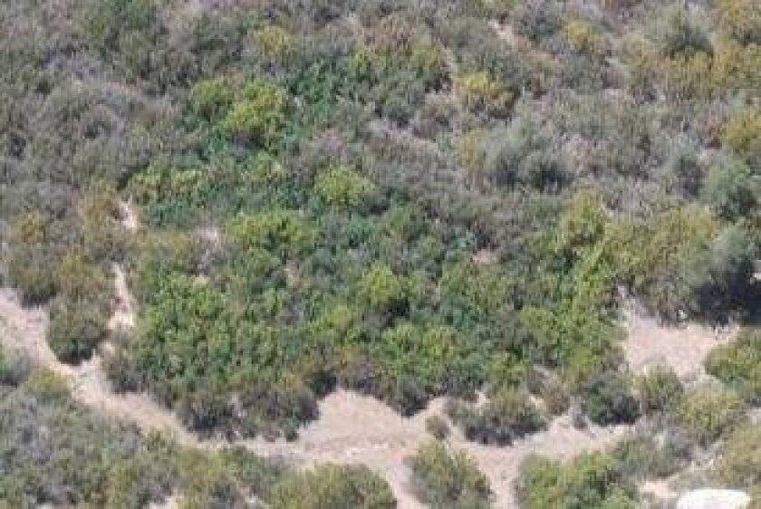The lighter green of a marijuana crop betrays its location to airborne investigators.