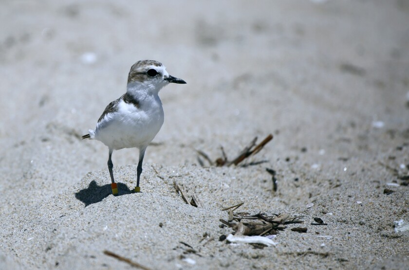 An endangered Western snowy plover