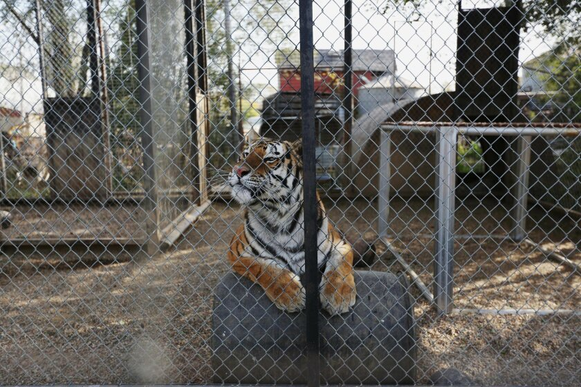 This Wednesday, Oct. 21, 2015 photo shows Rajahn the tiger in his enclosure at the Cricket Hollow Zoo in Manchester, Iowa. The owners of the private northeast Iowa zoo must remove their tigers and lemurs after a federal judge ruled Thursday, Feb. 11, 2016, they failed to provide appropriate living