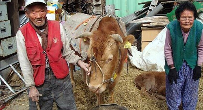 South Korean farmer Choi Won-kyun and wife Lee Sam-sun became overnight celebrities in South Korea after their appearance in a documentary that broke box-office records there. The animal shown here replaced their now-famous ox.