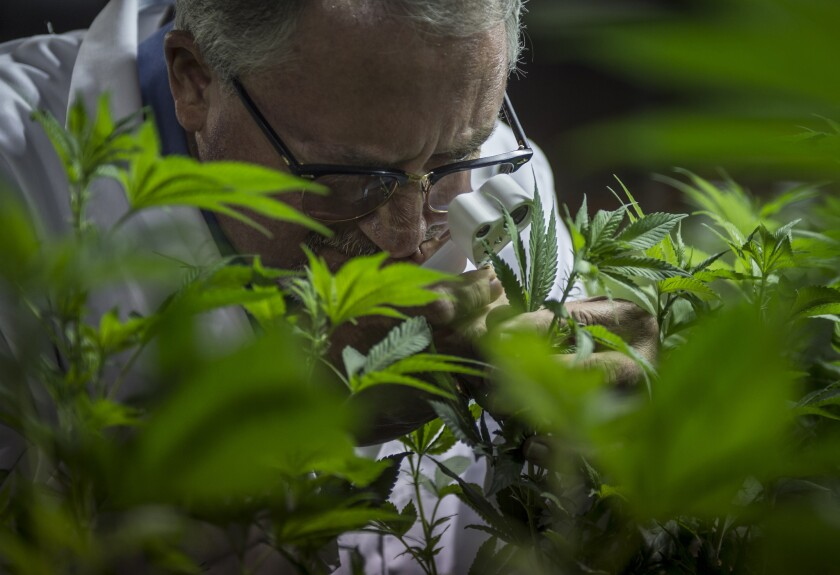 A Coachella Valley marijuana grower inspects his plants for invasive insects in February.